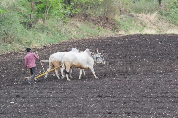 indian-farmer-ploughing-field-farm