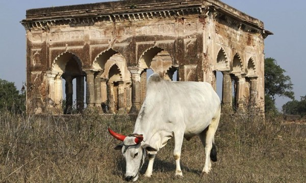 indian-ox-story-tanhulya